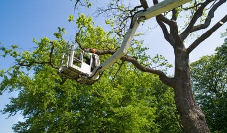 Tree Surgeon Pruning Trees for Tree Service of Troy Michigan